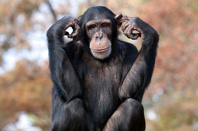 Simpanse Punya Hobi Membuat dan Mengikuti Tren