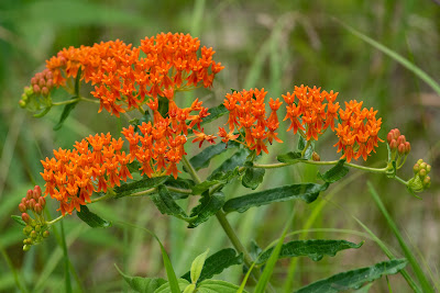 Butterfly Milkweed, Indiana Dunes National Park