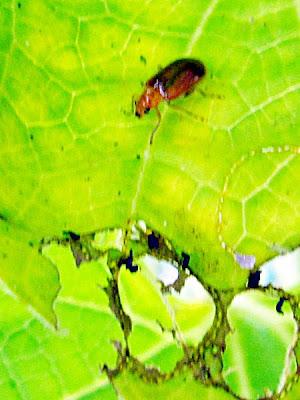 Kekabuh Mentimun, Aulacophora indicus suka memakan daun pokok menjalar seperti labu, mentimun dan peria.