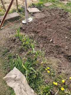 Two rows of leeks growing