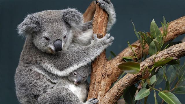 koala di australia
