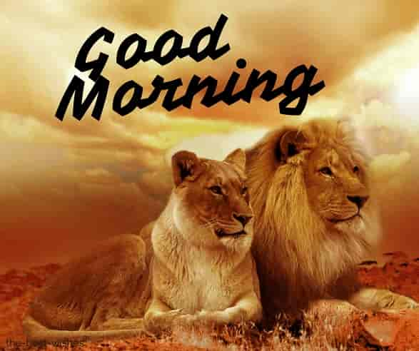 good morning nature animal with lion