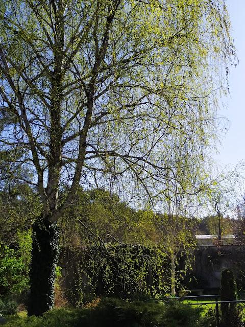 betula tristis