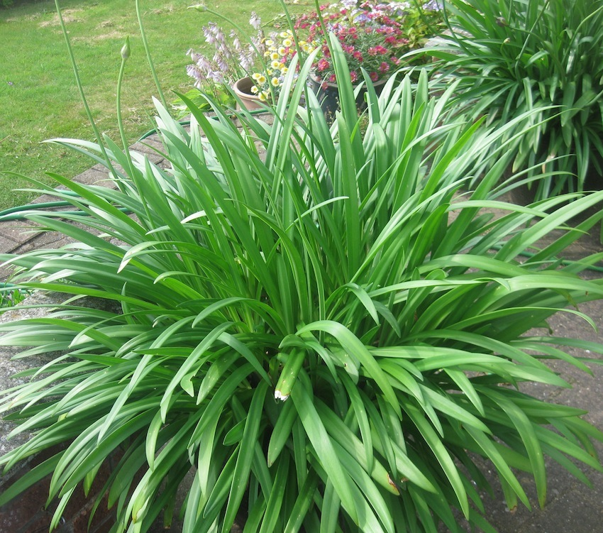 Roger Brook The No Dig Gardener Propagating And Growing Agapanthus