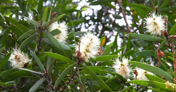Kayu Putih (Melaleuca leucadendra)