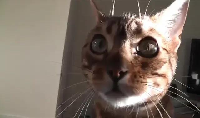 3 choses étranges que fait votre chat Bengal et pourquoi?
