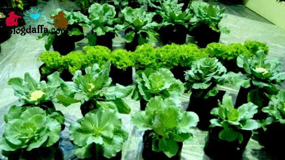 Jual bibit sayuran