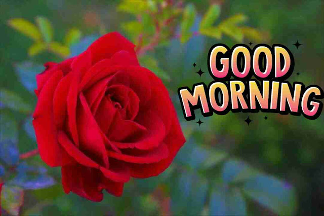 Beautiful red rose flower good morning wishes