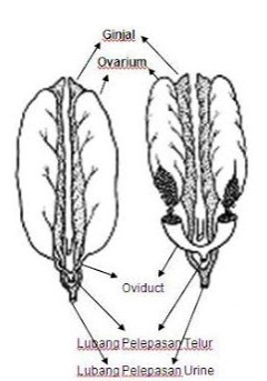 Urogenitalia