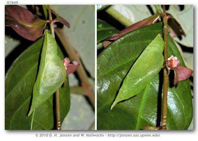 pupa de mariposa ciprina