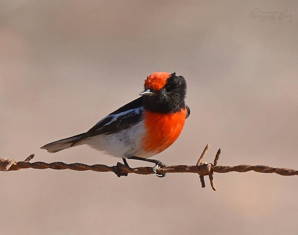 Ptaki Australii Zachodniej - część 3.