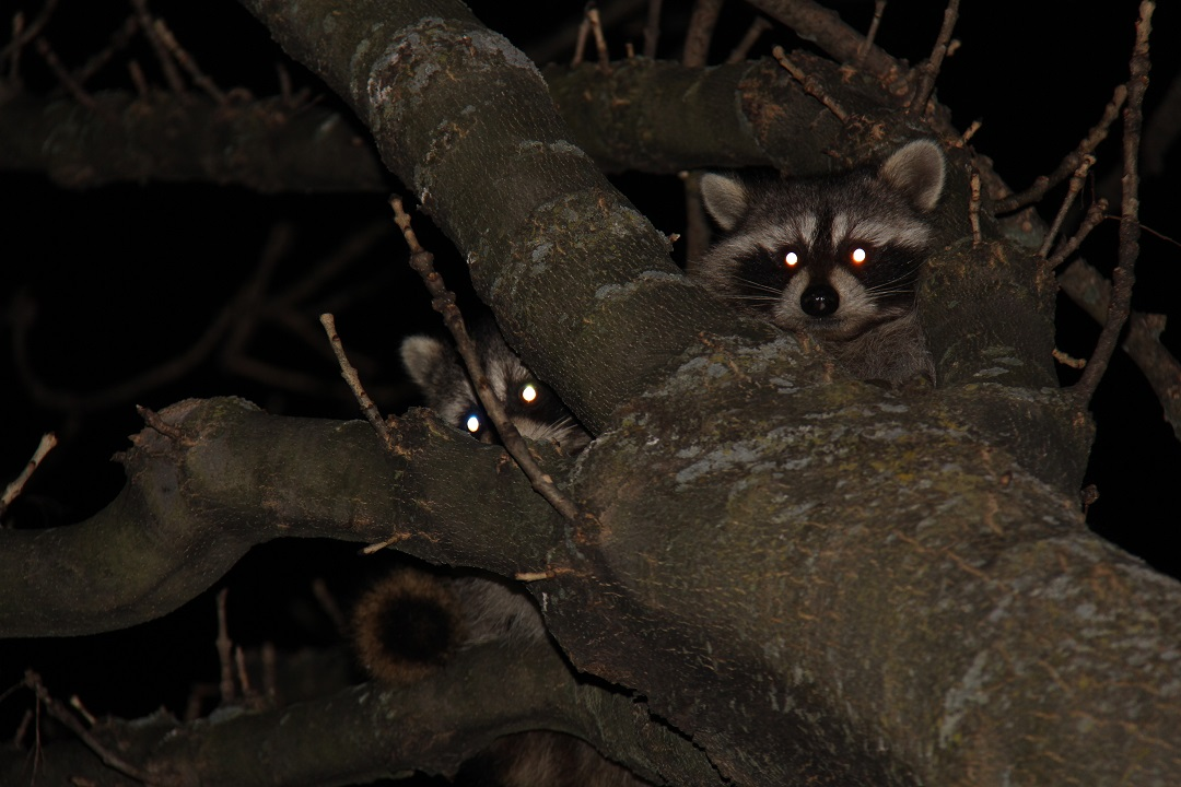 John Koshy Wildlife Night Of The Raccoons