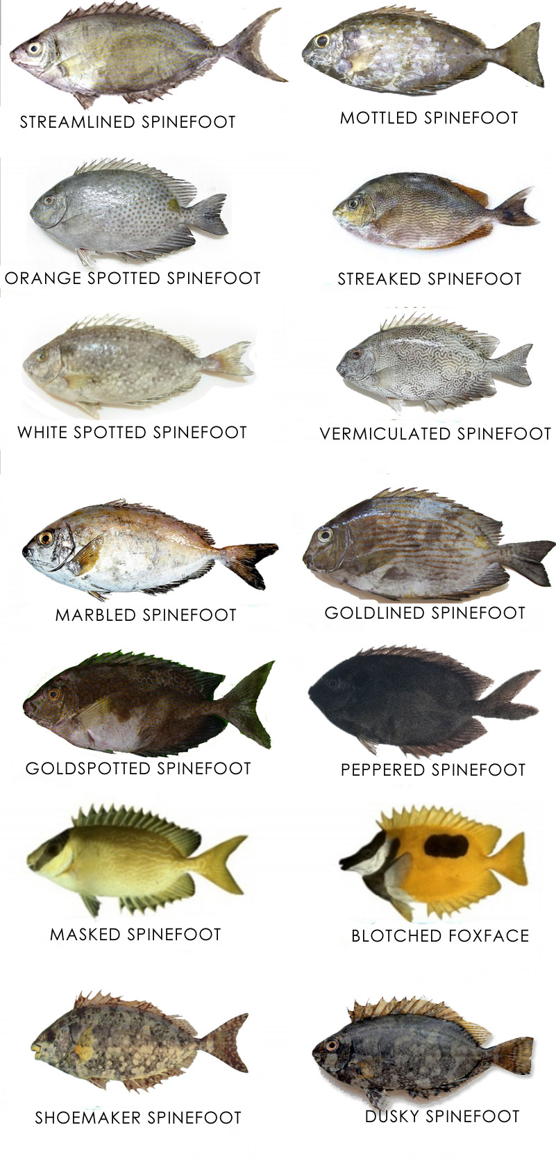 Different types of Rabbitfish , Spinefoot or Safi fish