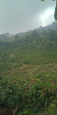 Kebun kopi robusta Tanggamus