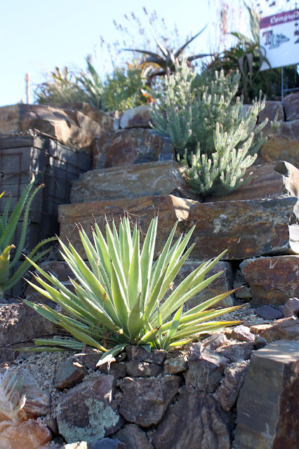 Agave angustifolia in a ricky landscape