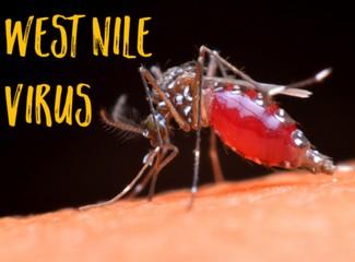 batı nil virüsü sivrisinek