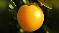 fruit around the world, strange fruit, strange fruit around the world, crazy fruit, crazy fruit around the world, HOG PLUM