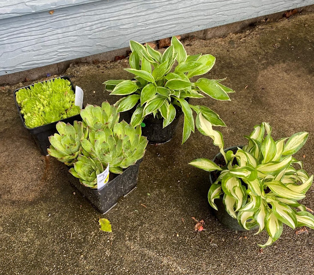 Photo of hen and chicks & hostas in small pots