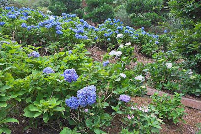 flowers, garden, アジサイ