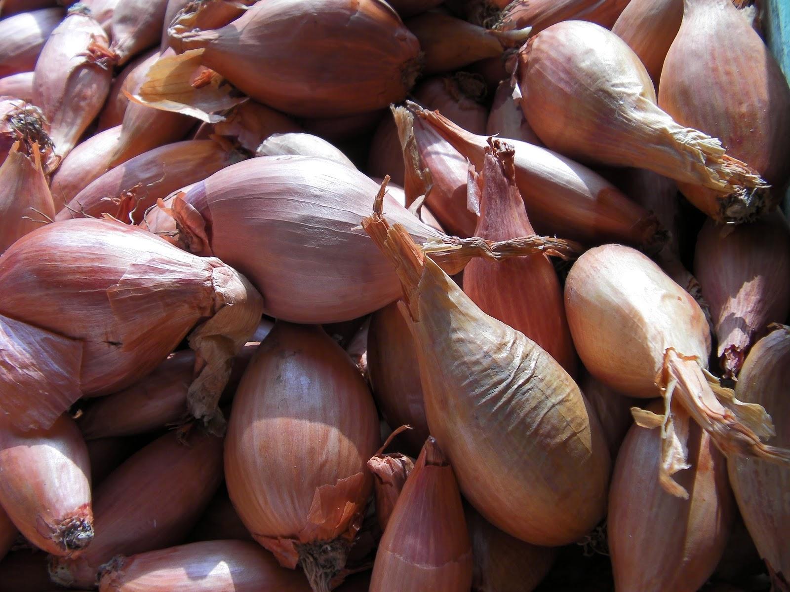 Comment Planter De L Échalote le potager familial bio: comment cultiver les échalotes