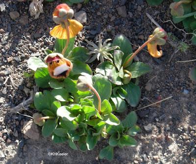 topa topa, Calceolaria uniflora