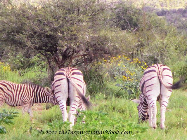 Zebra, safari, Mosetlha Bush Camp, Madikwe Game Reserve, South Africa