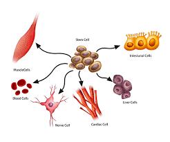 Kamieninės ląstelės – brangiai parduodamas melas