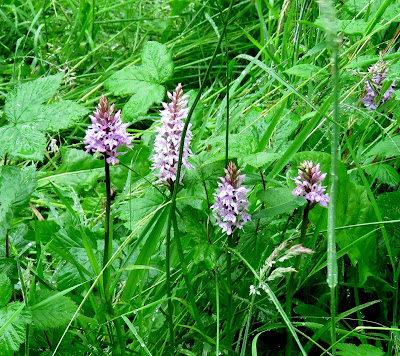 Common Spotted Orchid by HenSafe