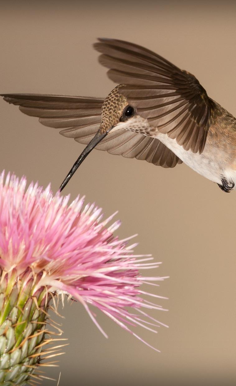 Hummingbird drinking nectar.