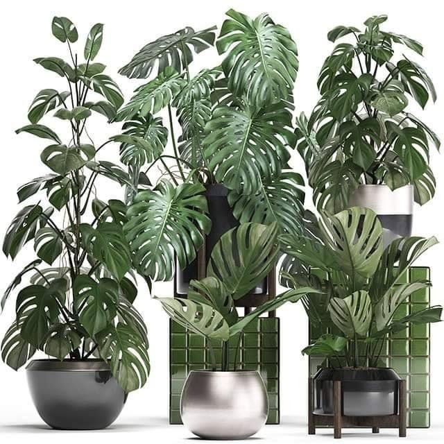 Monstera Plants Sketchup Model , 3d free , sketchup models , free 3d models , 3d model free download