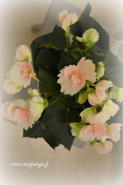 begonia kukka vaaleanpunainen lajike
