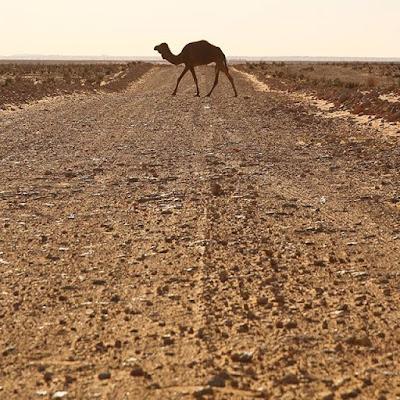 Camello en el desierto de Túnez