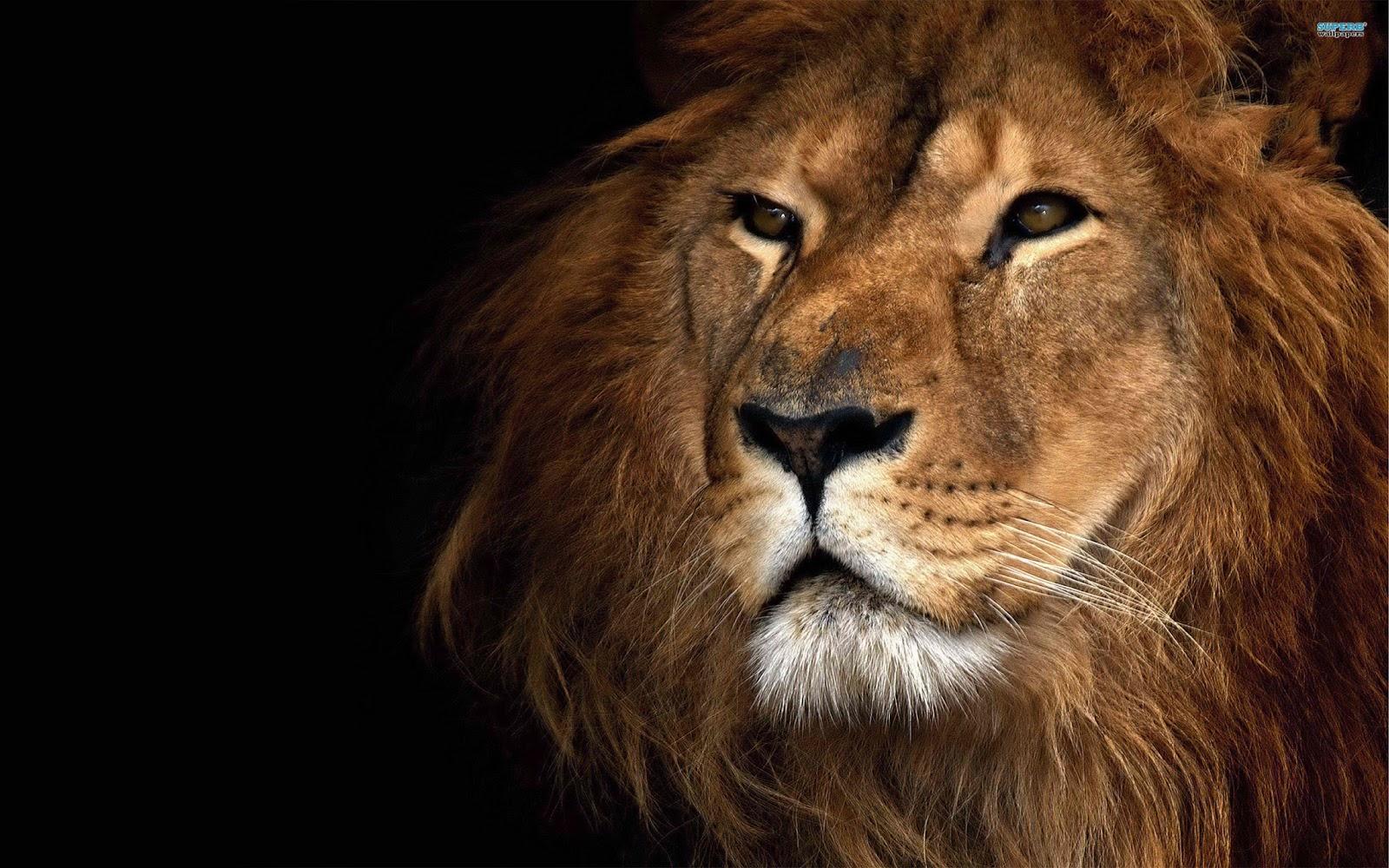 Fond d'écran lion blanc - Fonds d'écran HD