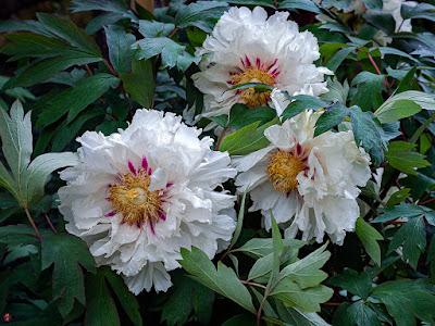 Botan (Paeonia suffruticosa) flowers: Kencho-ji