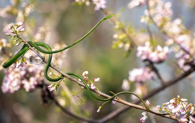 Common Vine snake (Ahaetulla nasuta)  Mildly Venomous