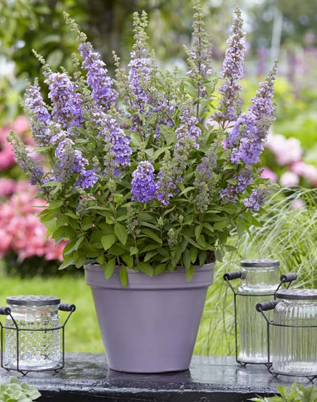 butterfly bush potted