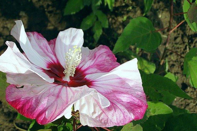 Gambar bunga sepatu tercantik