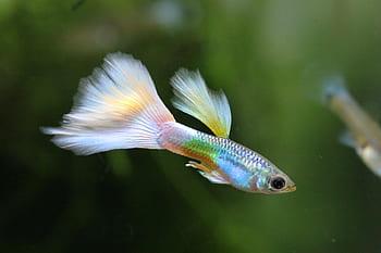 Types of Guppy Fish