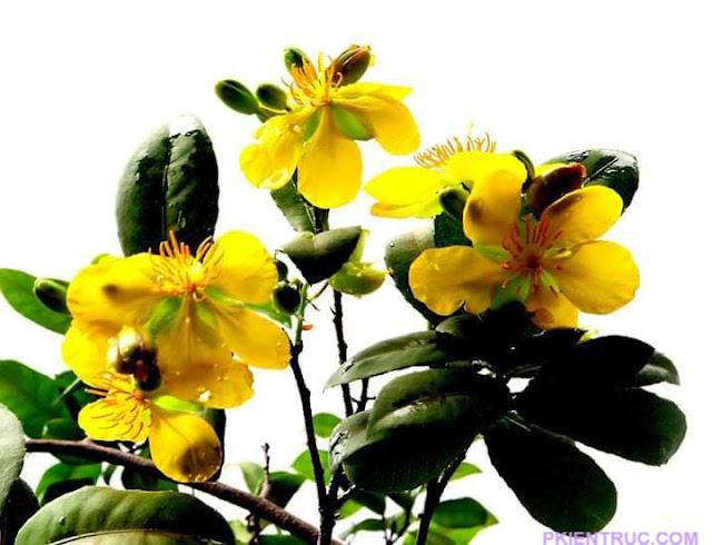 cánh hoa vàng mai tứ quý
