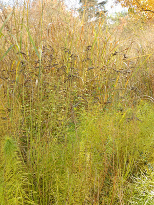Panicum virgatum Switch grass autumn foliage Toronto Botanical Garden by garden muses-not another Toronto gardening blog
