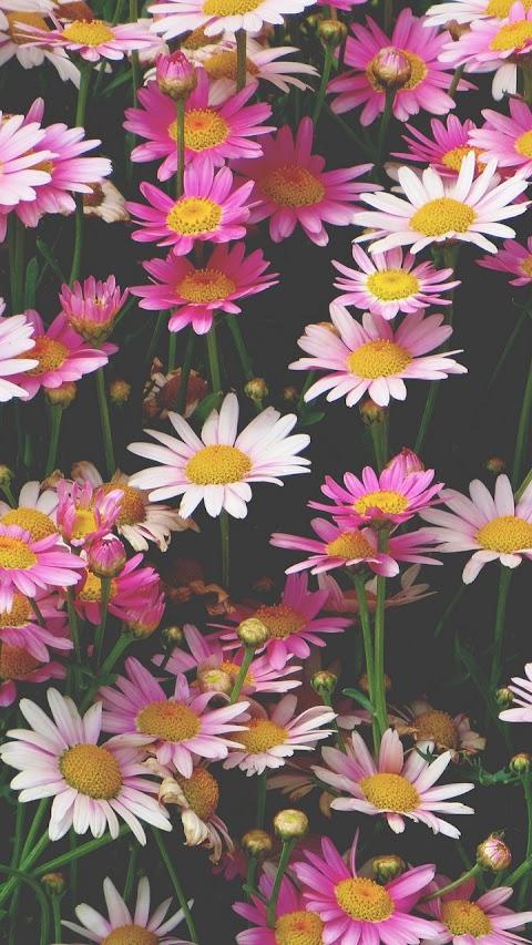 Luống hoa cúc rực rỡ