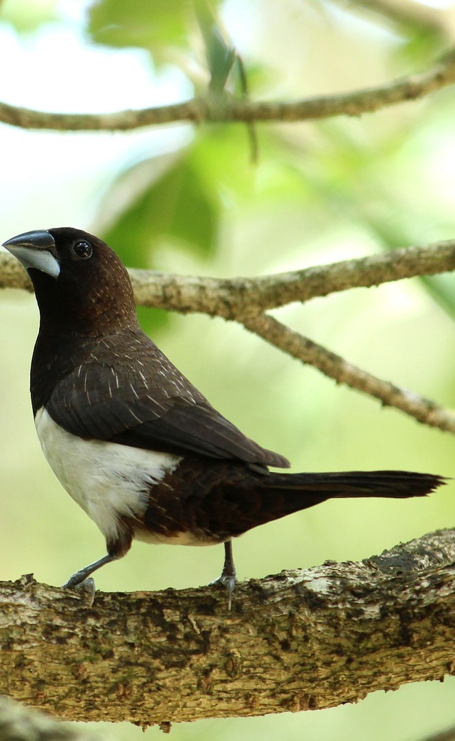 Picture of a white rumped munia.