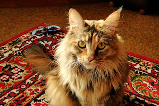 regalo maine coon