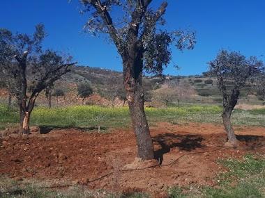 Trasplante de encinas centenarias y floración de arbustos en Restaurante Villa Isabelica