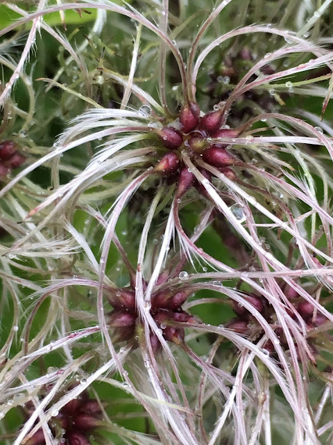 Høsten er en fin tid for å plante - flytte busker og stauder - Klematis summersnow