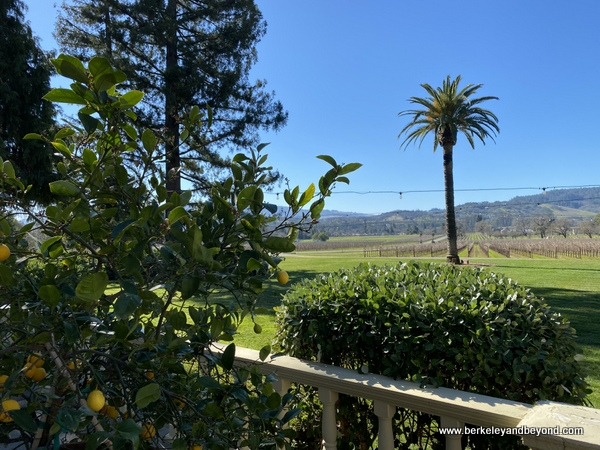 Canary Island palm at Chateau St. Jean Vineyards and Winery in Kenwood, California
