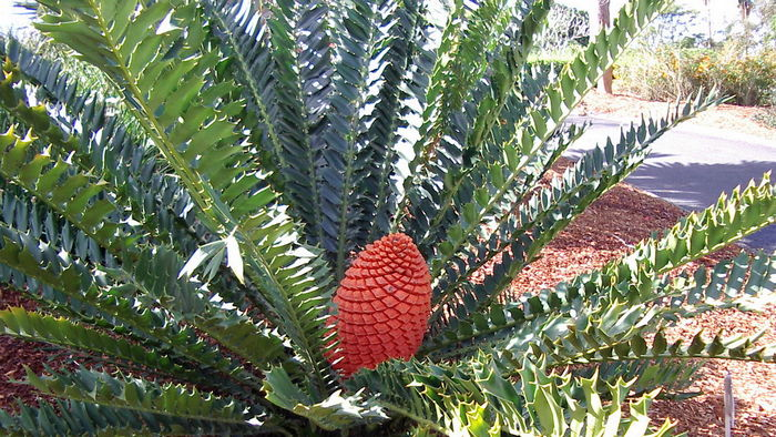 encephalartos horridus, encephalartos leaf, encephalartos lehmannii, encephalartos woodii, tree cycad, south african cycad, encephalartos gratus, megasporophyll of encephalartos