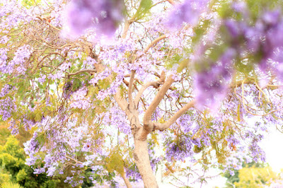 Purple Jacaranda Trees in Santa Monica, CA.
