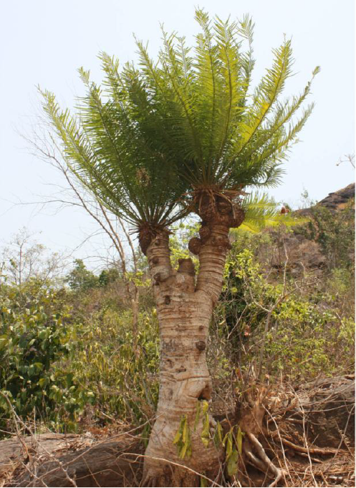 Two new species of Cycas discovered