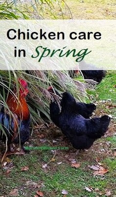 Preparing chickens for spring